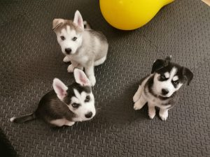 Puppy Fundamentals @ Golden Arena